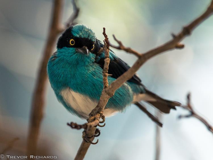 trevorrichardsphotobirdsong2